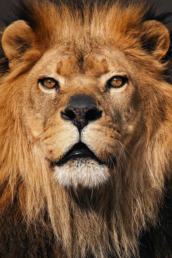 твой картинки гордость льва можете