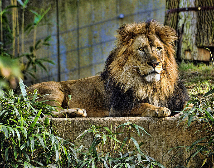 Lion Photograph - The King by Keith Lovejoy
