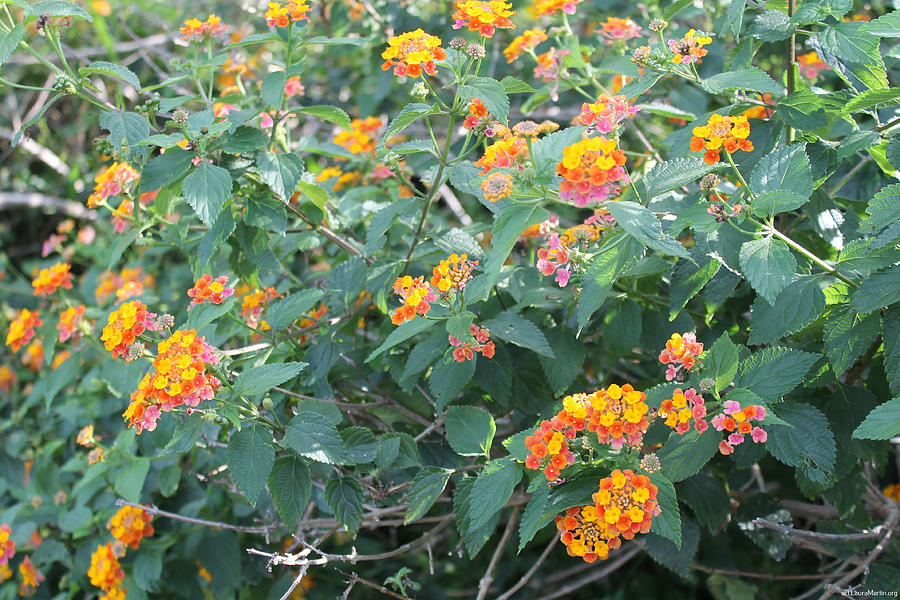 Flowers Photograph - The Lantana In The Near 20 by Laura Martin