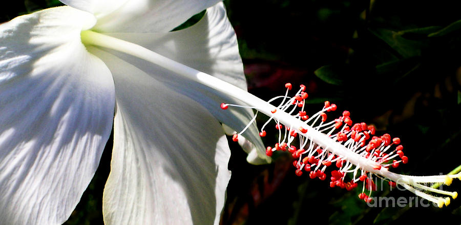 White Hibiscus Photograph - The Last Light by James Temple