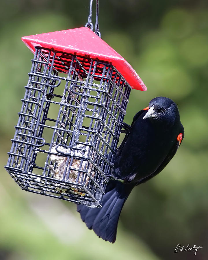 Agelaius Phoeniceus Photograph - The Last Of The Suet by Phill Doherty