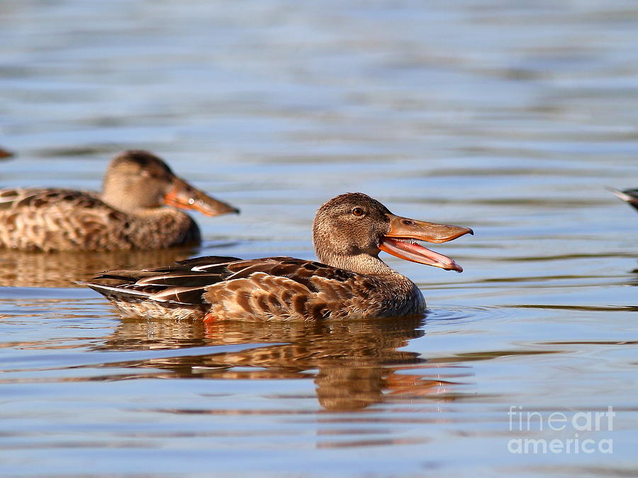Bird Photograph - The Laughing Duck by Wingsdomain Art and Photography