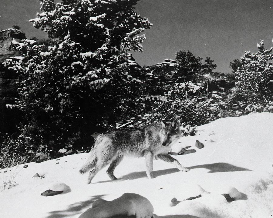 Sedona Photograph - The Legend of Lobo by Bob Bradshaw
