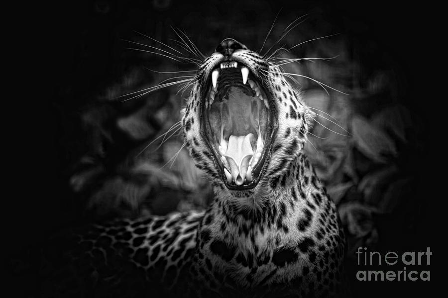 The  Leopards Tongue Rolling Roar Photograph