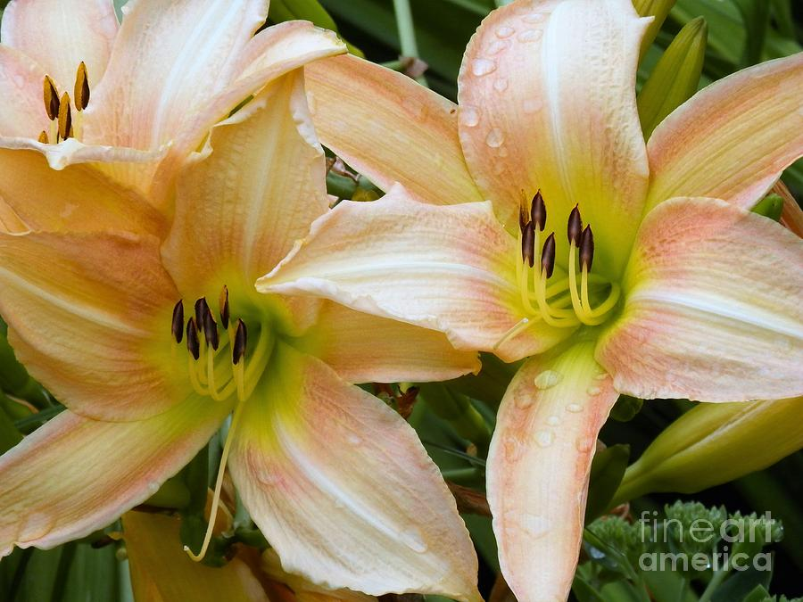 Lilly Photograph - The Lillies Have It by L Cecka