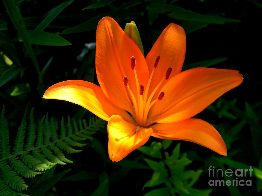 Lily Photograph - The Lily  by Elfriede Fulda