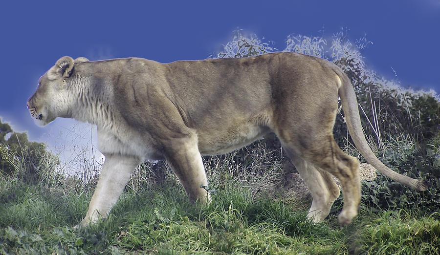 The Lion Dont Sleep Tonight Photograph