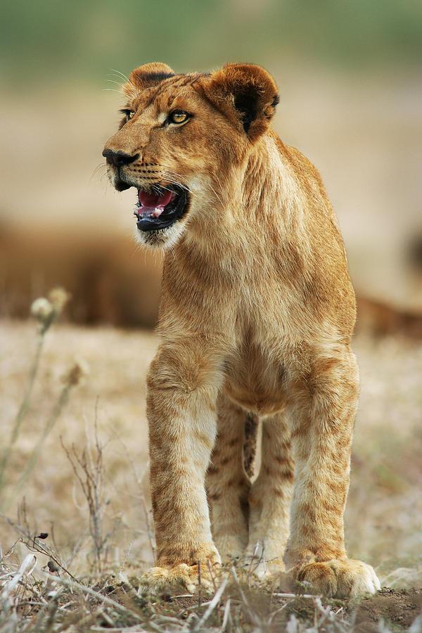 Lion Photograph - The Lion King by Yuri Peress