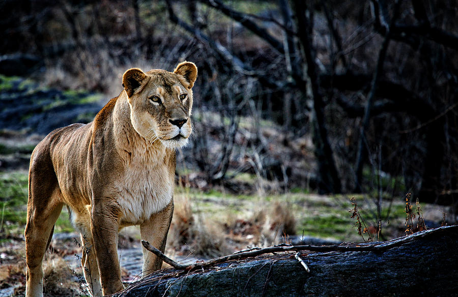 Female Lion Photograph - The Lioness by Karol Livote