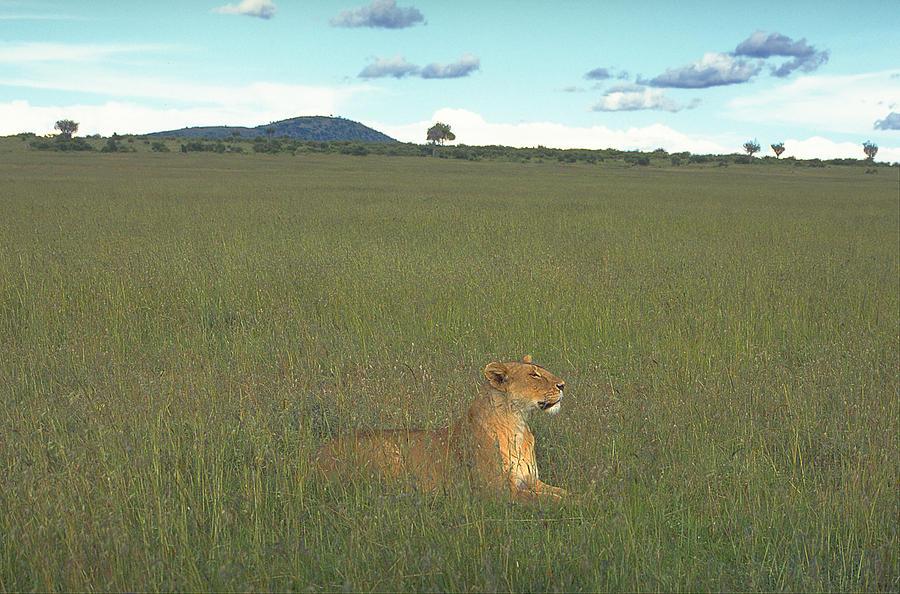 Animals Photograph - The Lioness by Siddarth Rai
