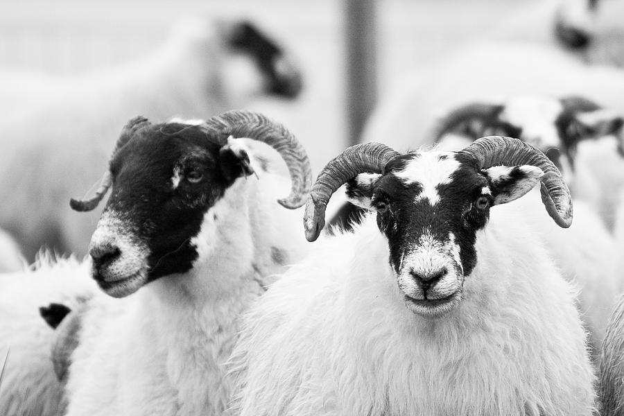 Scotland Photograph - The Locals by Colette Panaioti