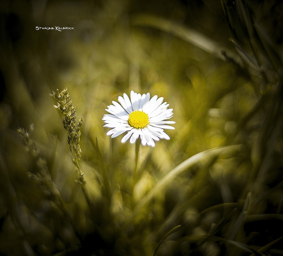 Flower Photograph - The Lonely Daisy by Stwayne Keubrick