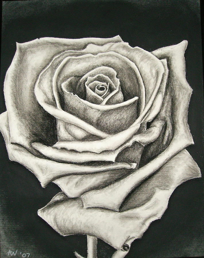 The Lonely Rose Drawing by Ashley Warbritton