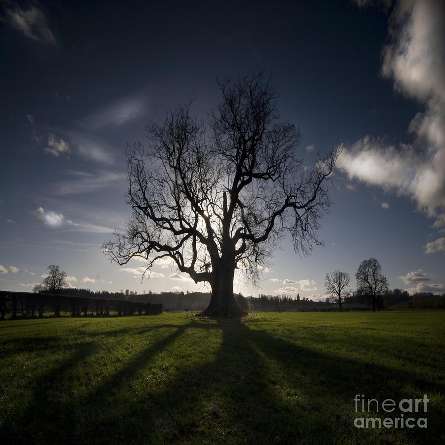 Oak Photograph - The Lonely Tree by Angel Ciesniarska