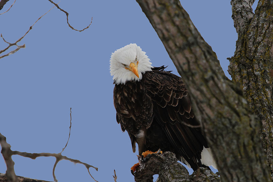 Eagle Photograph - The Look by Dave Clark
