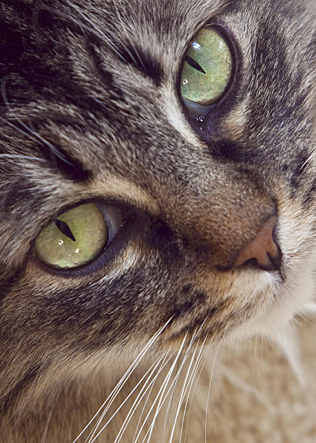 Cat Photograph - The Look Of Love by Lynn Andrews