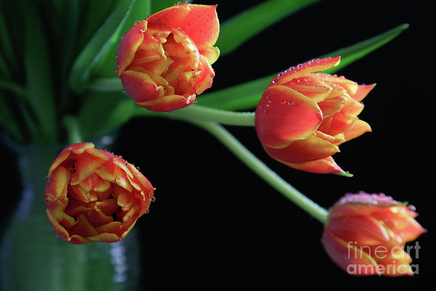 Tulips Photograph - The Look Out by Tracy Hall