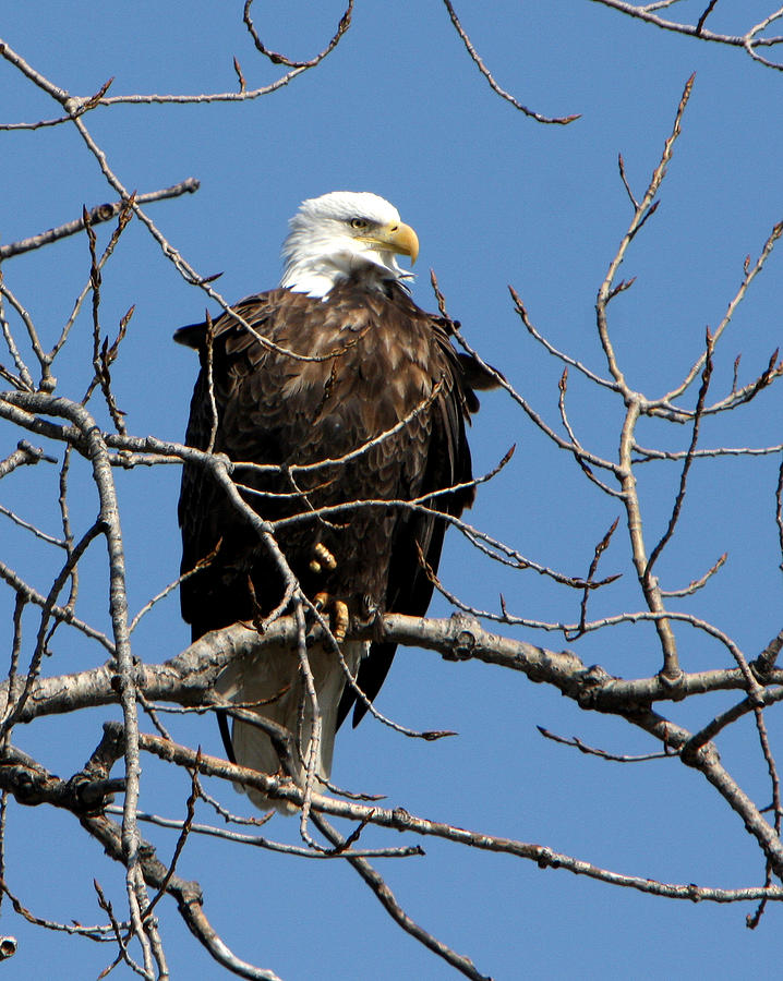 Eagles Photograph - The Lookout by Dave Clark