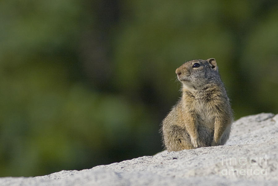 Uinta Ground Squirrel Photograph - The Lookout by John Blumenkamp