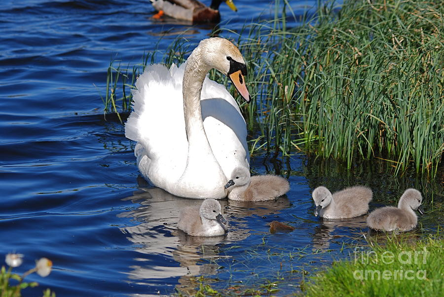Swans Photograph - The Lovely Mrs Swan And Family by Doug Thwaites