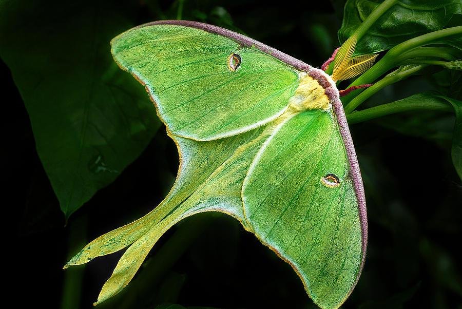 The Luna Moth by Dick Pratt