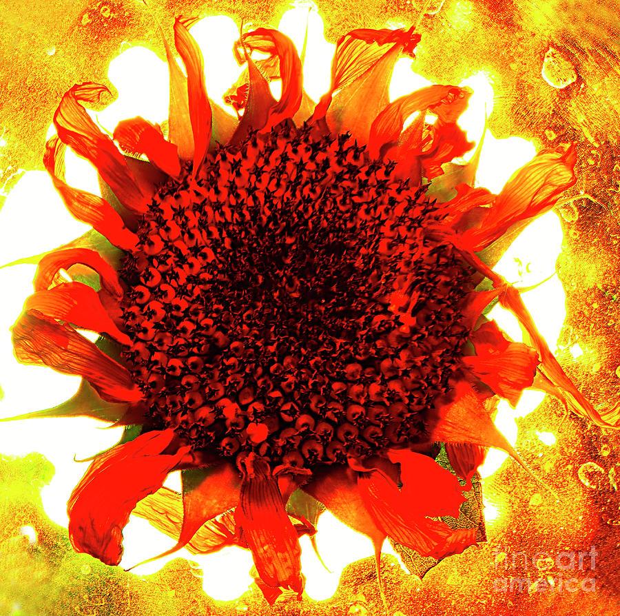 Sunflower On Fire. Photograph