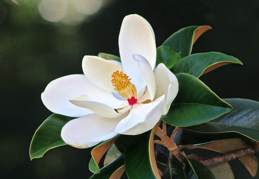 Magnolia Photograph - The Magnolia by Mamie Thornbrue