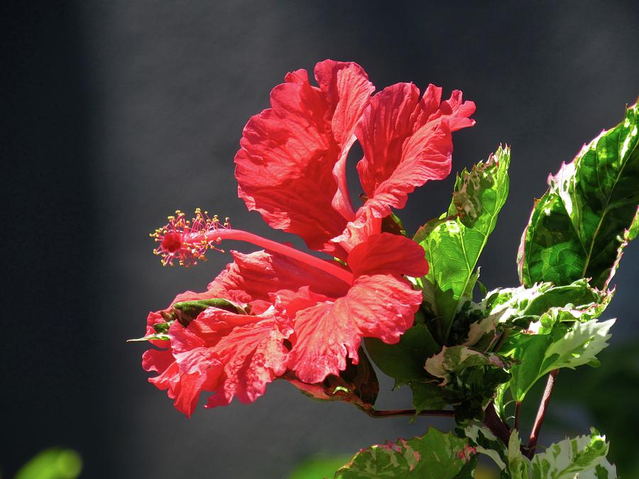 The Mallow Hibiscus by Jenny Regan