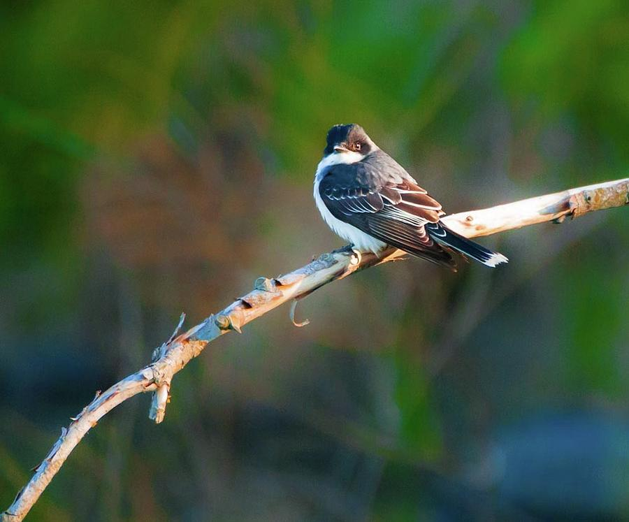 The Mighty Eastern Kingbird Photograph by Heather Hubbard
