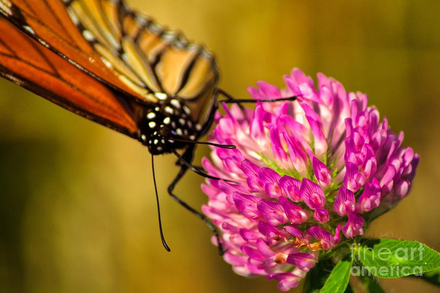 Monarch Photograph - The Monarch by Gaby Swanson