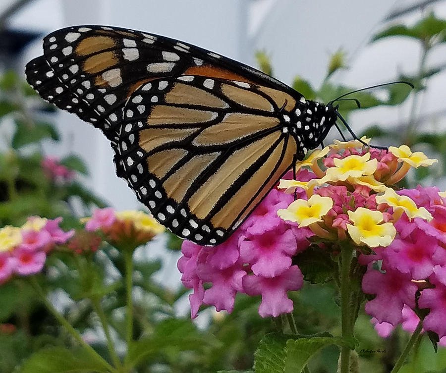 Butterfly Photograph - The Monarch Has Returned by ChelleAnne Paradis
