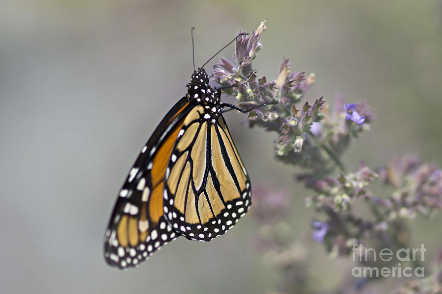 Butterflies Photograph - The Monarch by Susan Garver