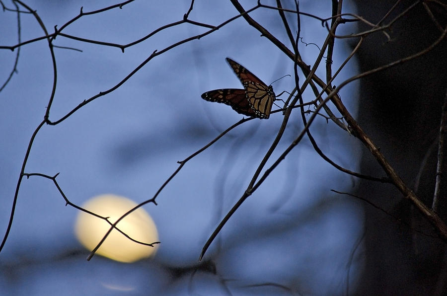 Moon Photograph - The Moon And The Monarch by Jeff Rose