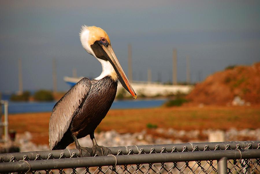 Pelican Photograph - The Most Beautiful Pelican by Susanne Van Hulst