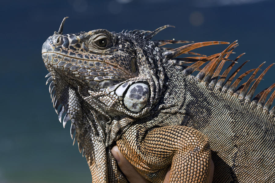 Animal Photograph - The Night Of The Iguana by Carl Purcell