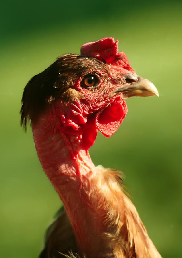 Superstar Naked Necked Chicken Photos