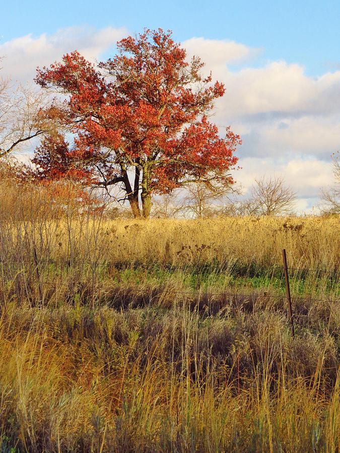 Oak Tree Photograph - Red Oak Under November Skies by Lori Frisch