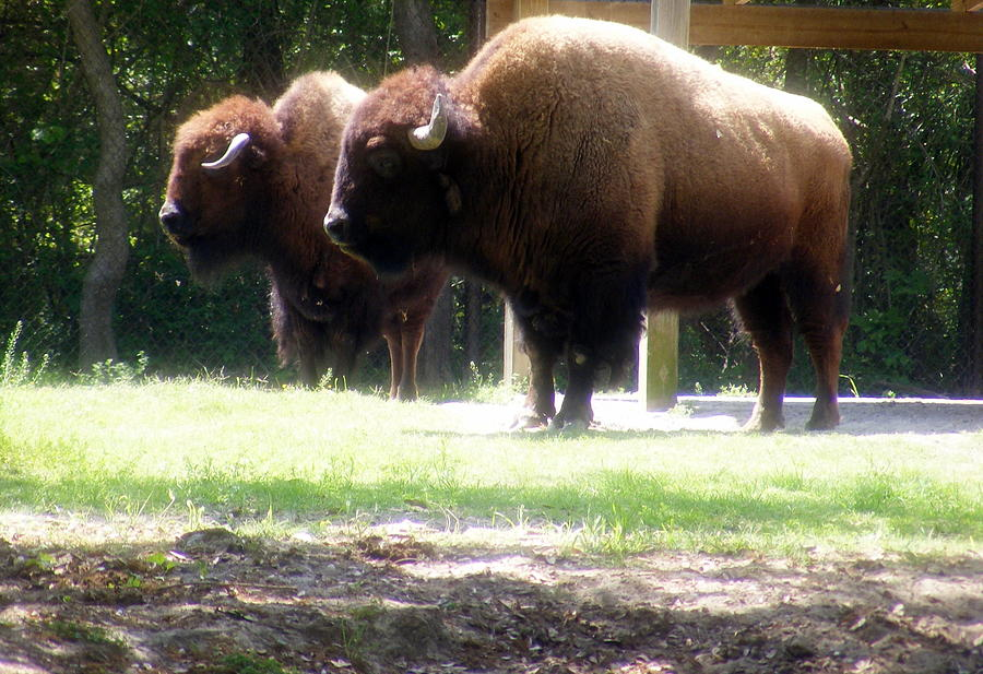 Bisons Photograph - The Odd Couple by Elena Tudor