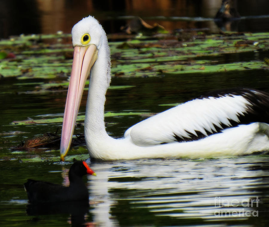 Pelican Photograph - The Odd Couple by Evie Hanlon