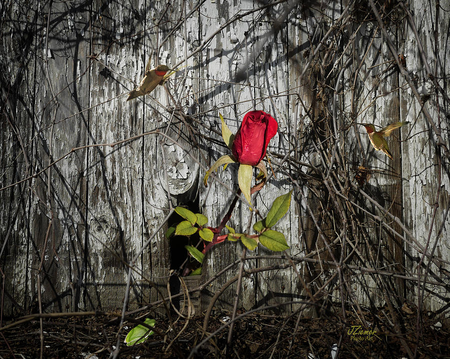 Rose Photograph - The Old And The New by Jim Ziemer