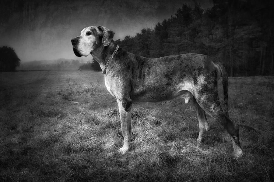 The Old Great Dane by Marc Huebner