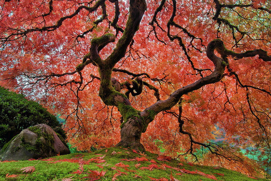Japanese Garden Photograph - The Old Japanese Maple Tree in Autumn by David Gn