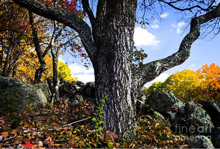 Oak Tree Photograph - The Old Oak Tree by Jim  Calarese