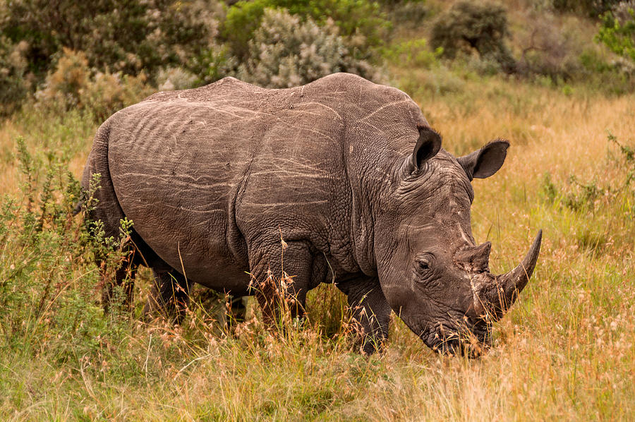 The Only Remaining male Northern White Rhino by Mitchell R Grosky