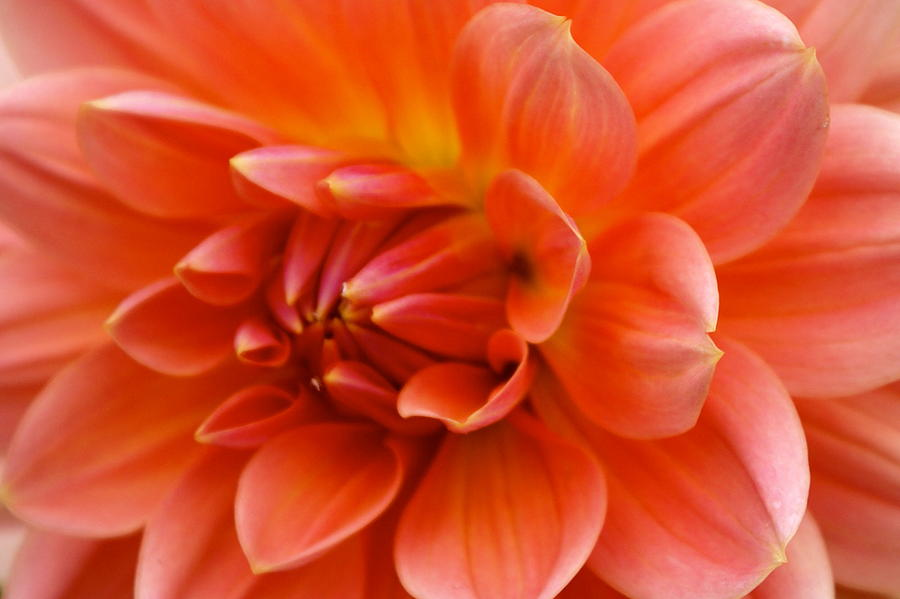 Floral Photograph - The Opening Of A Dahlia by Sonja Anderson