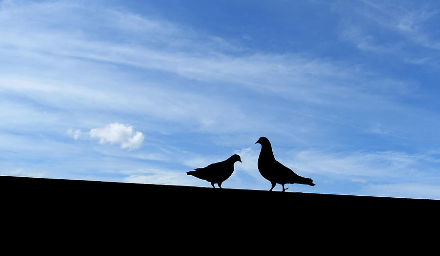 Pigeon Photograph - The Opposite Of Love by Thomas Shanahan