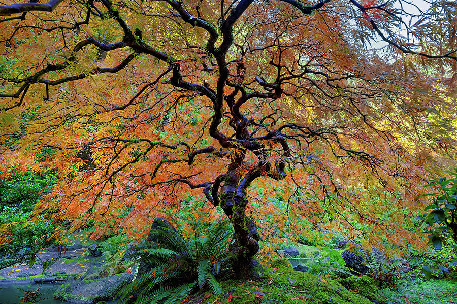 Japanese Garden Photograph - The Other Japanese Maple Tree In Autumn by David Gn