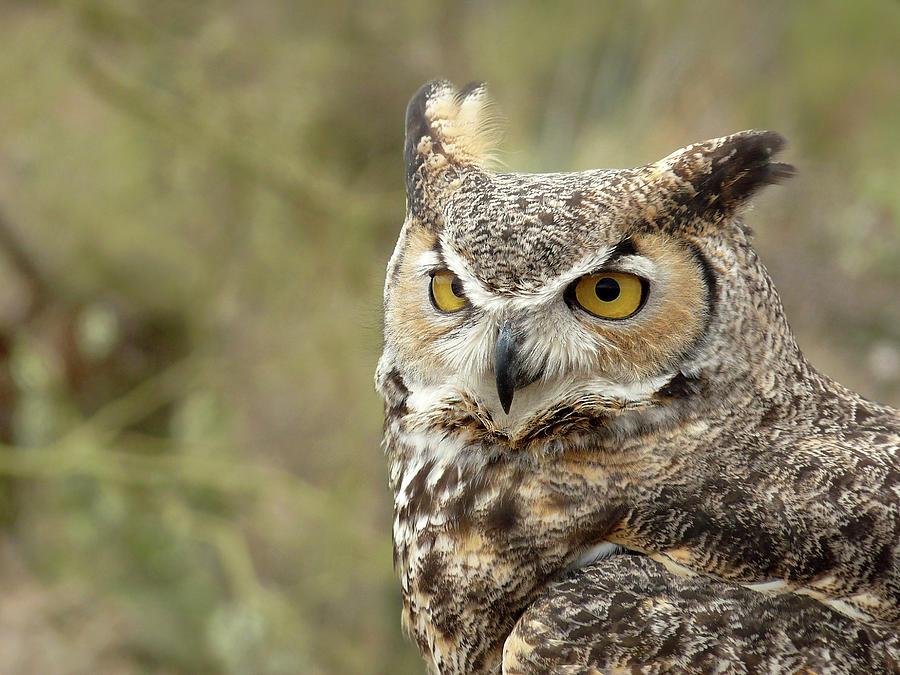The Owl Photograph