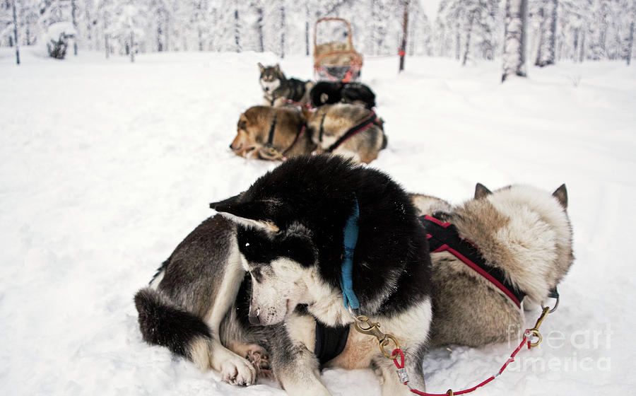 Sled Dogs Photograph - The Pack by Nancy B