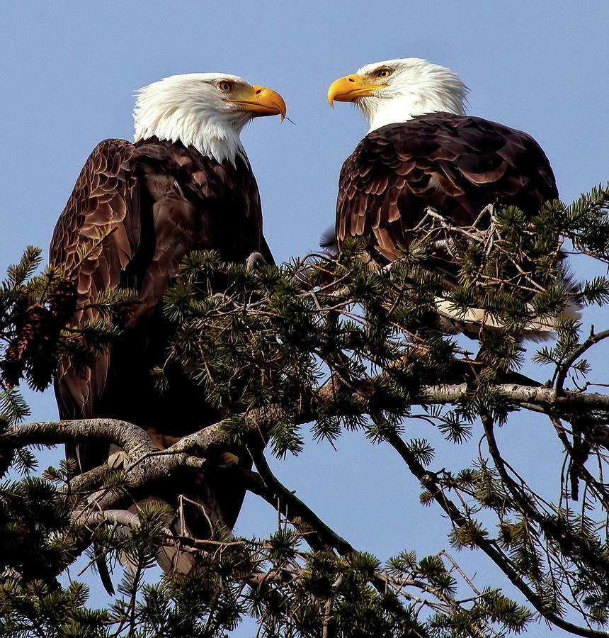 Bald Eagle Photograph - The Parents by Sheldon Bilsker